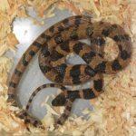 シロマダラヘビは触っていいの?毒や値段に飼育方法は?